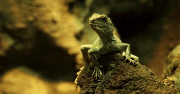Cómo preparar un terrario para iguanas