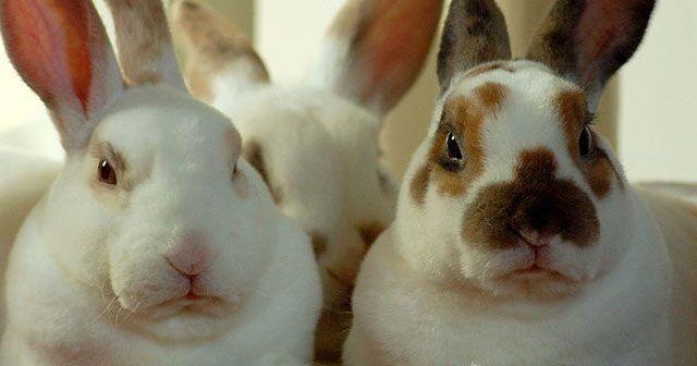 Cuales son las enfermedades más comunes en los conejos