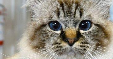 Evitar problemas de salud con las bolas de pelo en los gatos