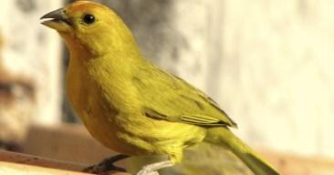 Consejos para mejorar el canto de los canarios