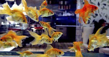 Los problemas de la súper población en el acuario