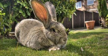Conejos como mascota: Ventajas e inconvenientes
