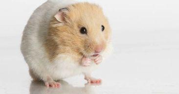Cómo averiguar el sexo de un hamster