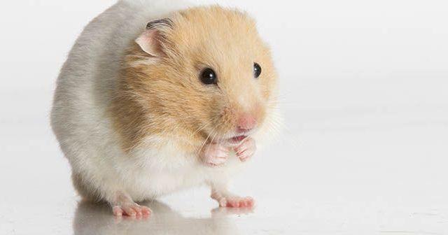 Cómo-averiguar-el sexo-de-un-hamster