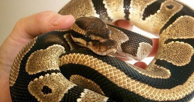 Es-peligroso-tener-serpientes-como-mascota