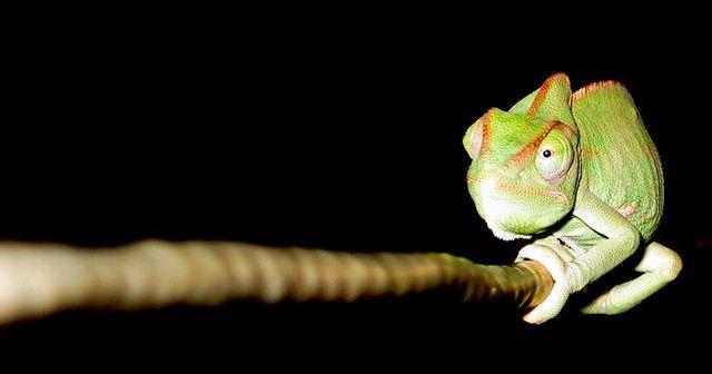 Cuantos-años-puede-vivir-un-camaleon-hobby-mascotas