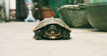 ¿Qué debo tener en cuenta para tener una tortuga en casa?