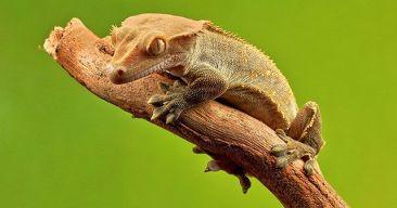 ¿Qué debo saber sobre el gecko crestado?