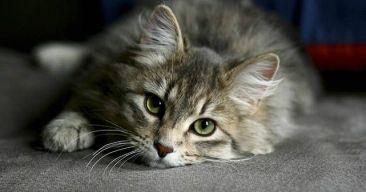 8 síntomas de Alzheimer en gatos