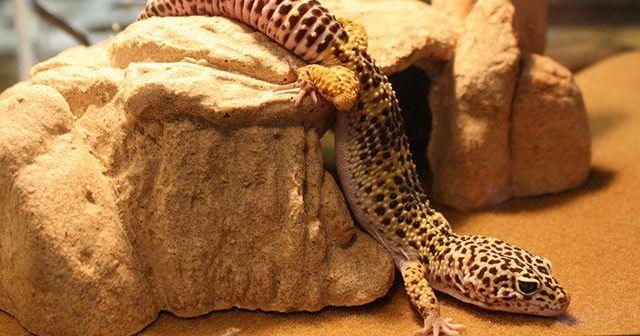 que-sustrato-debo-utilizar-para-un-gecko-leopardo-hobby-mascotas