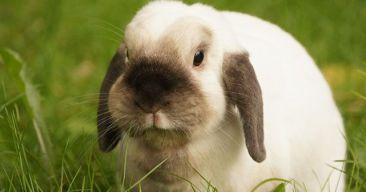Guía de inicio para tener conejos como mascota