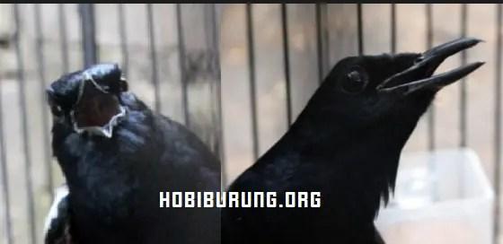 Mata Burung Kacer Juara