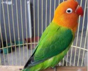 Lovebird Biola - 14 Jenis Lovebird Berdaasarkan Warna