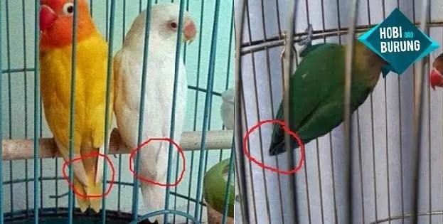 3 Cara Membedakan Jenis Kelamin Lovebird Jantan Dan Betina Hobi Burung