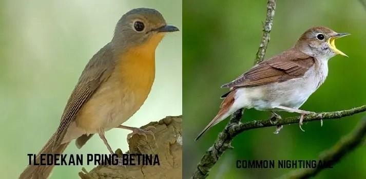 Penjelasan Lengkap Burung Nightingale Sikatan Londo Ciri Suara Harga Dan Fotonya Hobi Burung