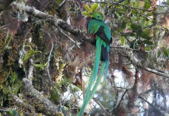 burung ekor panjang Resplendent Quetzal