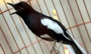 Burung Kacer Gacor