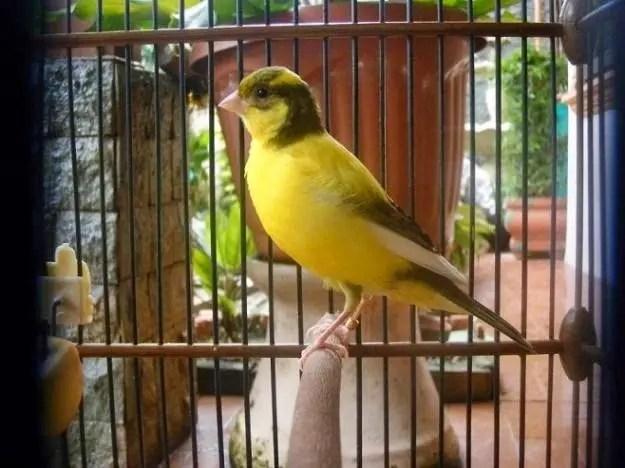 Warna Burung Kenari Yg Paling Mahal Harganya  9 Warna Burung Kenari Yg Paling Mahal Harganya