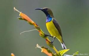 burung kolibri manggar