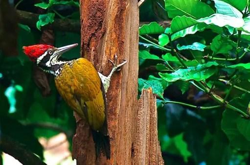 burung pelatuk tungir emas JANTAN