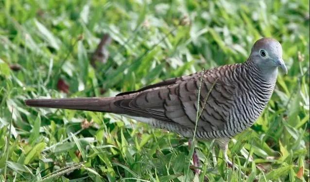 burung perkutut