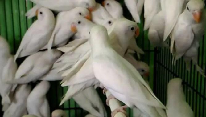 Burung lovebird albino mata hitam