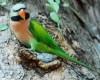 Burung Betet