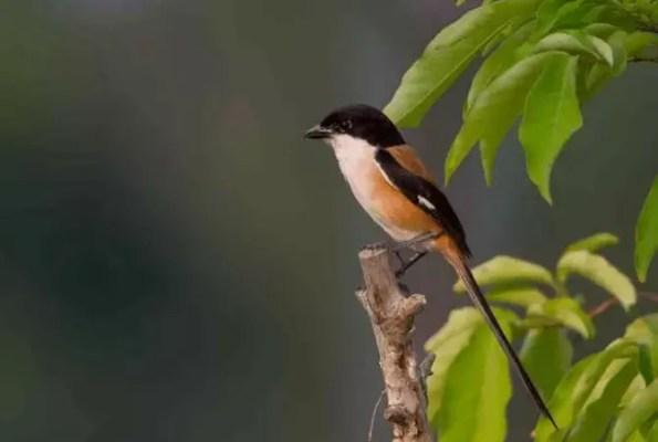 Burung Cendet Blangkon Madura