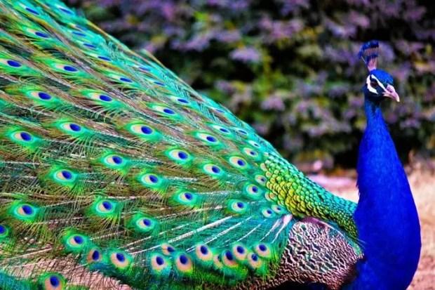 Gambar Burung Merak Biru