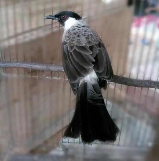 Burung kutilang gacor