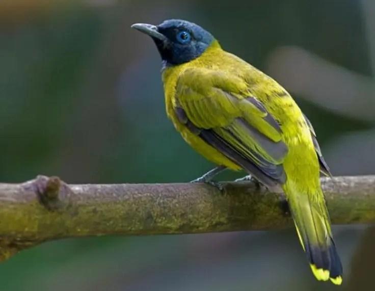 Daftar Harga Burung Kutilang Lengkap Dan Terpercaya Hobi Burung