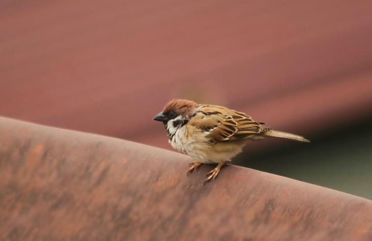 gambar burung gereja