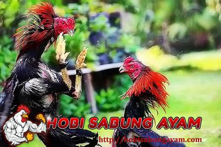 Tips Membentuk Mental dan Keberanian pada Ayam Bangkok