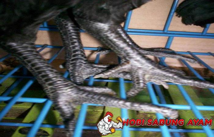 ayam aduan dengan sisik kaki naga mangsa atau sisik ubed