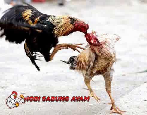 Ciri Ayam Bangkok Aduan Yang Memiliki Pukulan Mematikan
