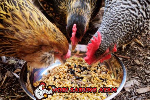 Pakan Ayam Terbaik