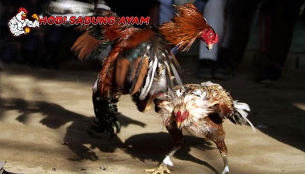 Cara Melatih Ayam Bangkok Agar Memiliki Pukulan Maut - Sabung Ayam Online