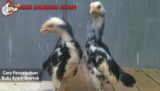cara pencegahan bulu ayam rontok - sabung ayam online