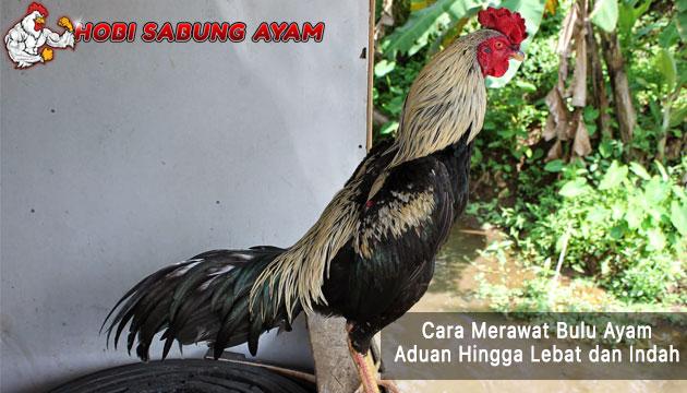 merawat bulu ayam aduan - sabung ayam online