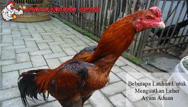 Menguatkan Leher Ayam Aduan