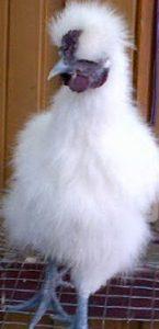Ayam Kapas (7)