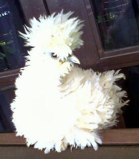 Ayam Poland yang Unik dan Lucu