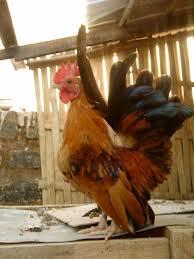 Ayam Serama Yang Unik