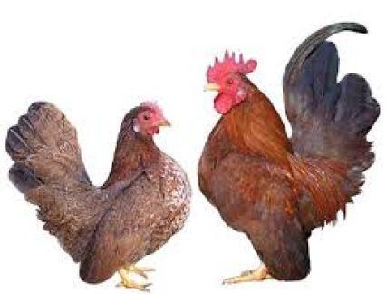 harga ayam serama yang stabil dari tahun ke tahun