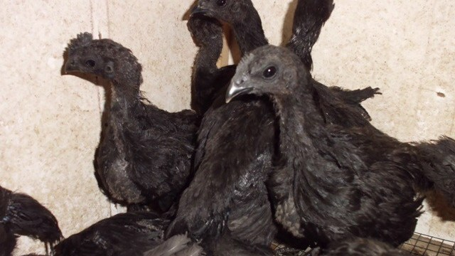 Jual Ayam Cemani dengan Warna Hitam yang Khas