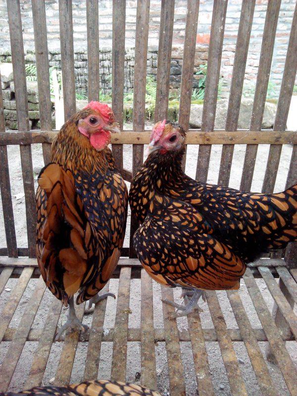 Ayam Batik Indukan (4)