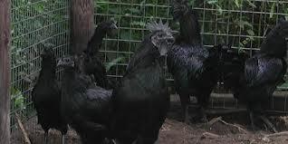 Ternak Ayam Cemani Asli