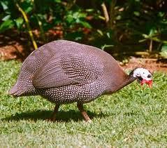 Ayam Mutiara (8)