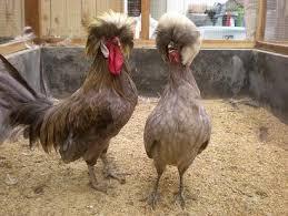 Ayam Polan (2)