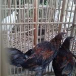 Ayam Ketawa Umur 3 Bulan dan Sepasang Ayam Cemani  Umur 5 Bulan Pesanan Bapak Ade di Ciranjang – Cianjur